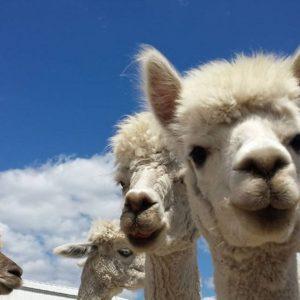 Deitricks Alpaca Ranch - Alpaca faces